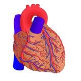 Coeur humain 2 Photographie stock