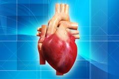 Coeur humain Photo libre de droits