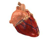 Coeur humain Image libre de droits
