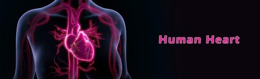 Coeur humain photographie stock