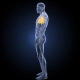 Coeur humain avec la vue de partie latérale d'anatomie image libre de droits