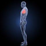 Coeur humain avec la vue de partie latérale d'anatomie photographie stock libre de droits