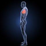 Coeur humain avec la vue de partie latérale d'appareil circulatoire photographie stock