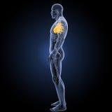 Coeur humain avec la vue de partie latérale d'appareil circulatoire photographie stock libre de droits