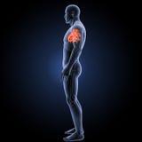 Coeur humain avec la vue latérale squelettique images libres de droits
