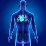 Coeur humain avec la vue postérieure squelettique illustration libre de droits