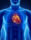 Coeur humain avec le thorax Photographie stock libre de droits