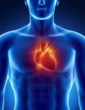 Coeur humain en détail avec les rayons rougeoyants Images libres de droits