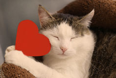 Coeur rouge de papier de prise de chat avec la fin de l'espace de copie vers le haut du portrait Image libre de droits
