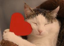 Coeur rouge de papier de prise de chat avec la fin de l'espace de copie vers le haut du portrait Photographie stock libre de droits