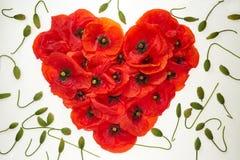 Coeur rouge des fleurs des pavots sur un fond blanc, autour des pousses de vert de sperme d'enroulement des fleurs image stock