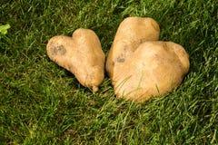 Coeurs de Potatos dans l'herbe Images libres de droits