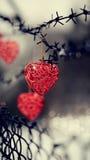 Coeurs et barbelé Photographie stock libre de droits