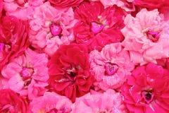 Coeurs roses d'amour de rose Photographie stock libre de droits