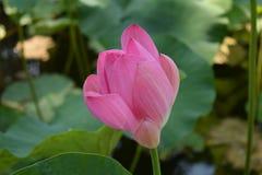 Cofa się jak Lotosowy kwiat obraz royalty free