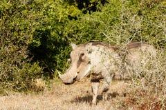 Cofa się spojrzenie - Phacochoerus africanus pospolity warthog Obrazy Stock