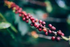 Cofee de cerise Images libres de droits