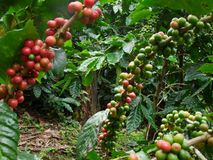 Cofee. A ripe red coffee beans Wait for the harvest Stock Images
