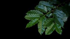 Cofee sidor med gröna bär på kaffeträd fattar på svarta lodisar Arkivbilder