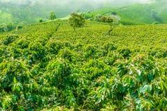 Coffe种植园在Jerico哥伦比亚 库存图片