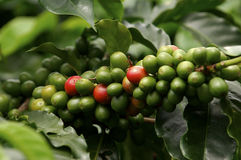 Coffe Anlage Lizenzfreies Stockbild
