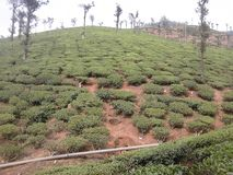 THE COFFE ESTATE IN INDIA. The One of the Best and Viewable Coffee estate in india . it is near to nature beauty. It is the one of the best tourism place in Stock Photos