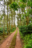 Coffe Estate trail. Beautiful trail through the coffee plantation in India royalty free stock photography