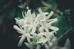 Coffe Flower of Gayo, Aceh. This photo taken in bener Meriah, Aceh, Indonesia. What a Fantastic Place Stock Image