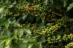 Coffe plant Royalty Free Stock Images