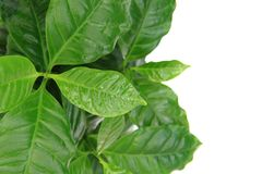 Coffe plant Royalty Free Stock Image