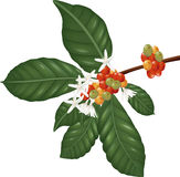 Coffe species branch with coffee berries and blossom. Illustration of Coffe species branch with coffee berries and blossom Royalty Free Stock Photography