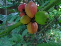 coffe tree stock photography