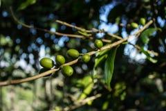 Coffe vert Photos libres de droits