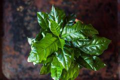 Coffea arabica - coffee plant in a flower pot. Coffea arabica - coffee plant in a flower pot Royalty Free Stock Photos