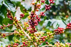 Coffea Arabica plantation, Coffee beans ripening on the rainy da. Y with water drops Royalty Free Stock Photo