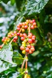 Coffea Arabica plantation, Coffee beans ripening on the rainy da. Y with water drops Royalty Free Stock Photos