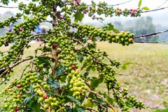 Coffea Arabica plantation, Coffee beans ripening on the rainy da. Y with water drops Stock Photography