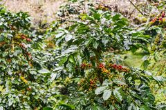 Coffea Arabica plantation, Coffee beans ripening on the rainy da. Y with water drops Stock Photos