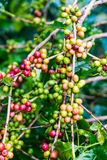 Coffea Arabica plantation, Coffee beans ripening on the rainy da. Y with water drops Royalty Free Stock Photography
