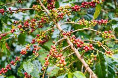 Coffea Arabica plantation, Coffee beans ripening on the rainy da. Y with water drops Stock Image