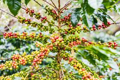 Coffea Arabica plantation, Coffee beans ripening on the rainy da. Y with water drops Royalty Free Stock Image