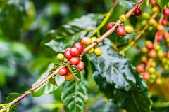 Coffea Arabica plantation, Coffee beans ripening on the rainy da. Y with water drops Stock Photo