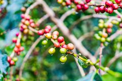 Coffea Arabica plantation, Coffee beans ripening on the rainy da. Y with water drops Royalty Free Stock Images