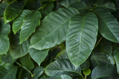 Coffea or coffee plant Royalty Free Stock Photography
