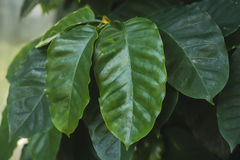 Coffea or coffee plant Stock Photos