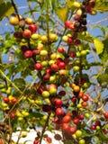 Coffeaarabicaplantage stockbilder