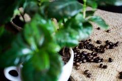 Coffebonen met struiken stock afbeelding