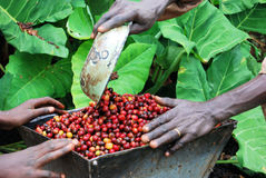 Coffee. Beans from kapchorwa Uganda east Africa Royalty Free Stock Image