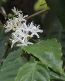 Coffee Arabica. Arabica coffee blossoms awaiting pollination. One bean in upper left background stock photos