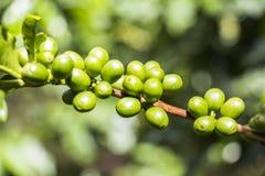 Coffee arabica in Panama. Green Coffee arabica plant in Boquete Panama Stock Photo
